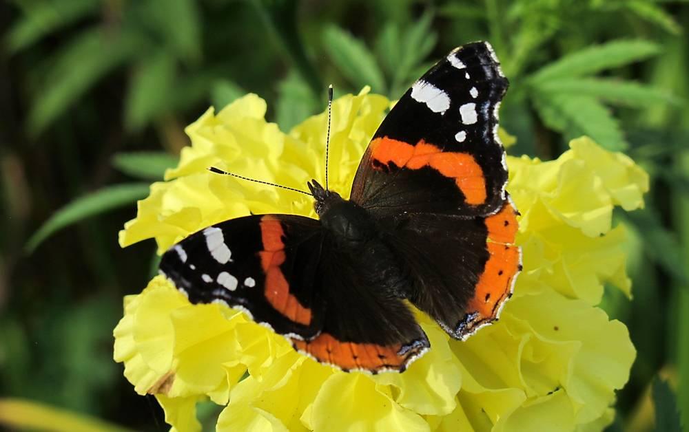 Бабочка адмирал фото (Vanessa atalanta)