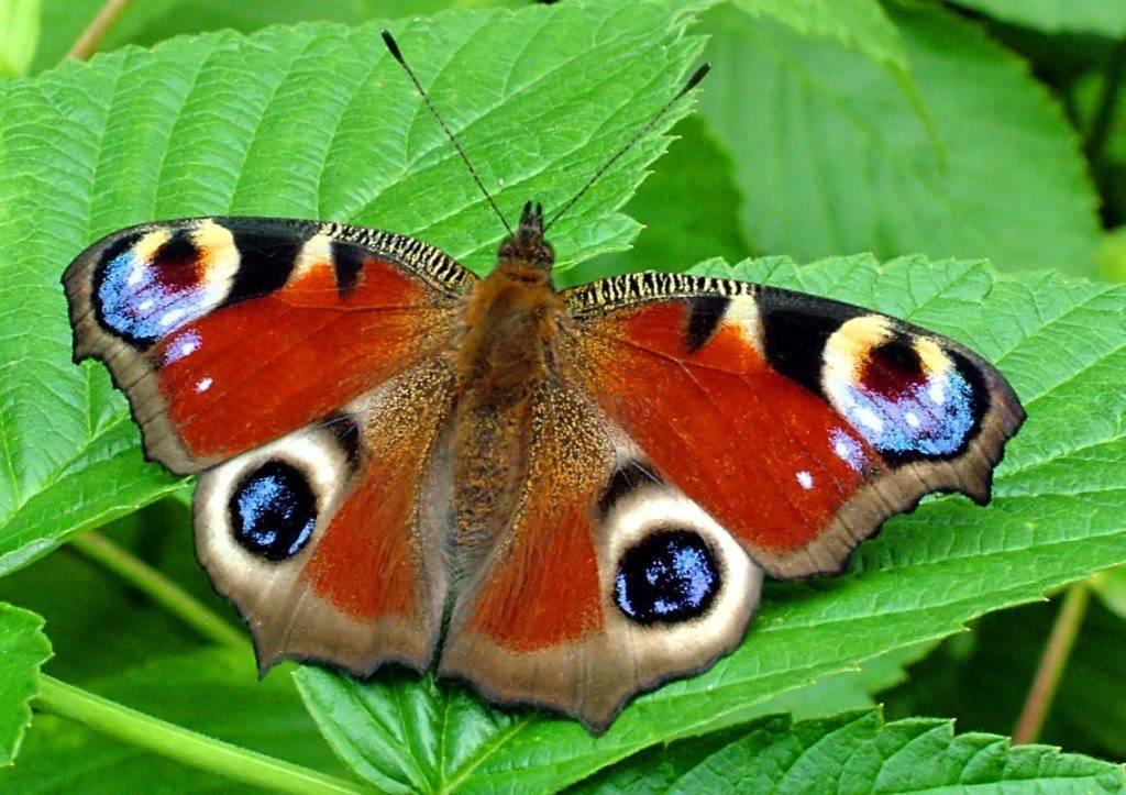 Бабочка дневной павлиний глаз фото