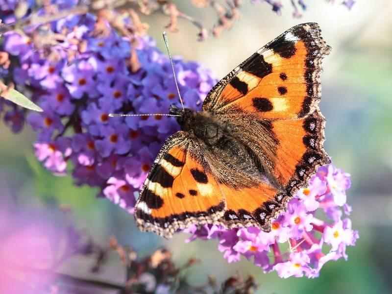 Бабочка крапивница фото (Aglais urticae)