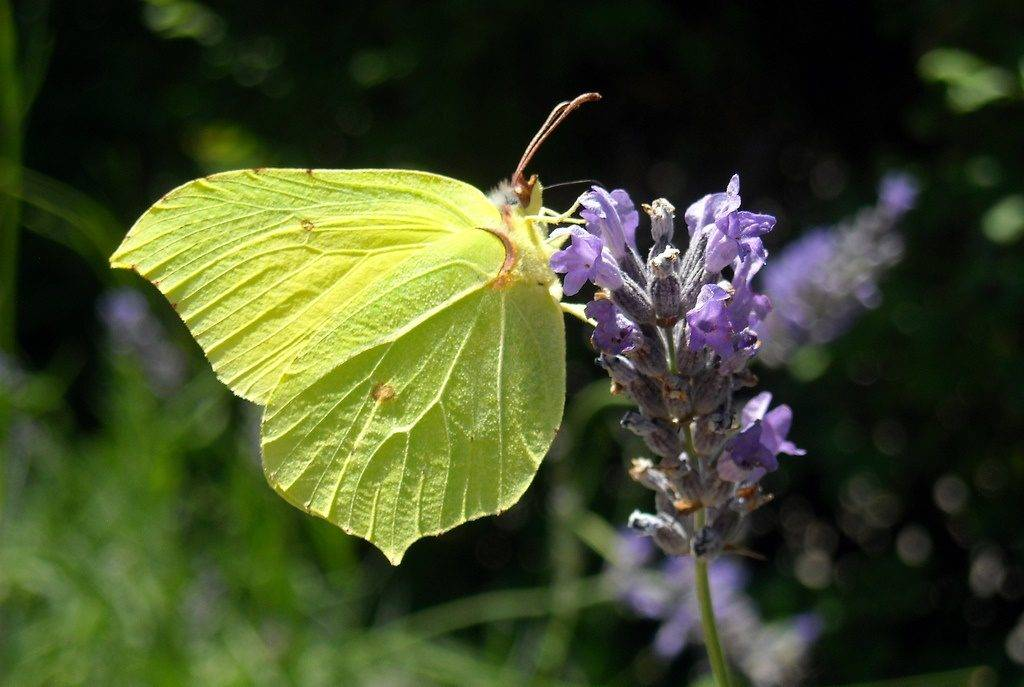 Бабочка лимонница фото (крушинница)