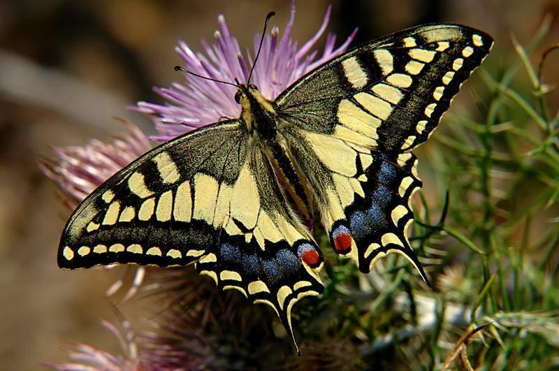Бабочка махаон фото