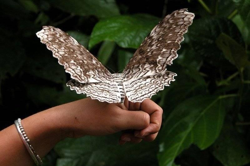 Бабочка тизания Агриппина (Thysania agrippina)