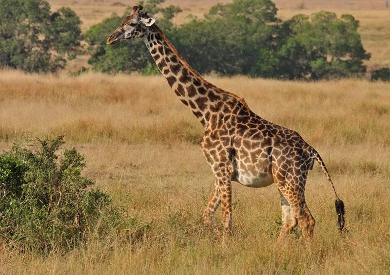 Беременная самка масайского жирафа