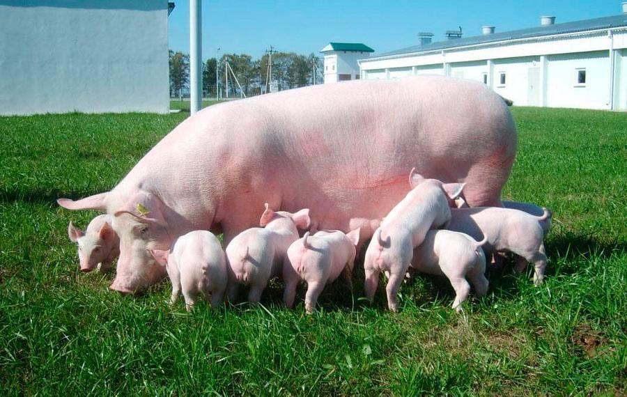 Большая свинья и поросята
