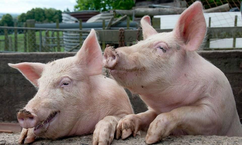Виды свиней