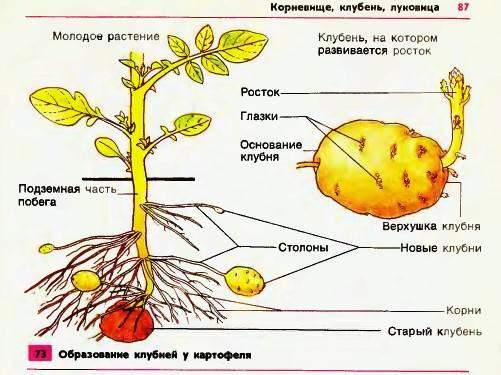 Внешнее строение клубня картофеля