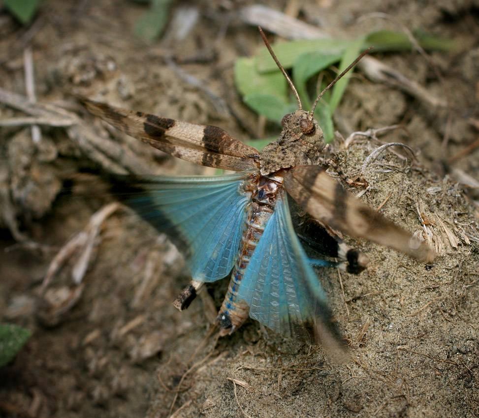 Голубокрылая кобылка (лат. Oedipoda caerulescens)