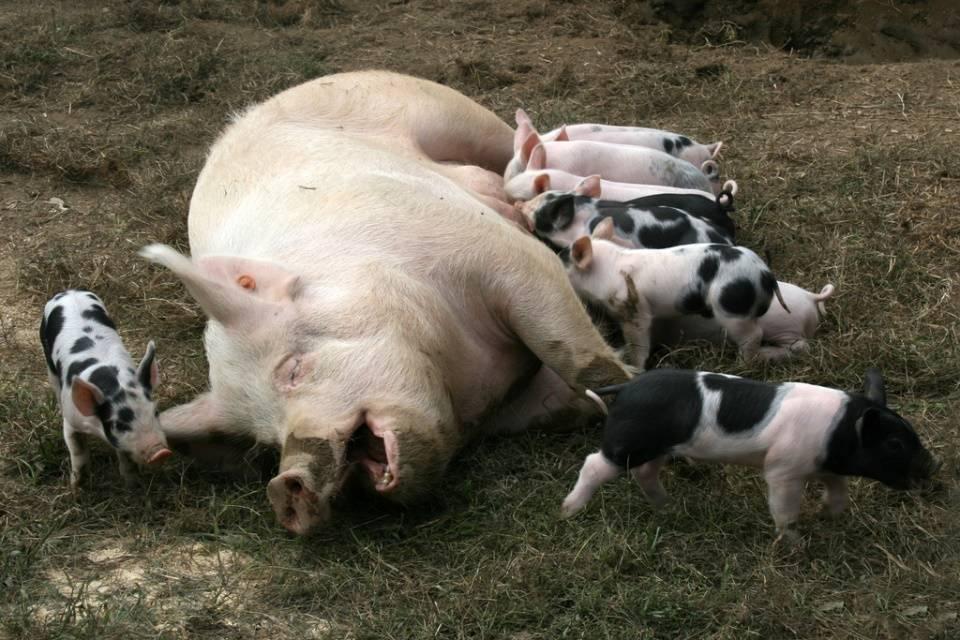 Домашняя свинья с поросятами