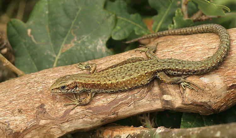 Живородящая ящерица (Lacerta vivipara, или Zootoca vivipara)