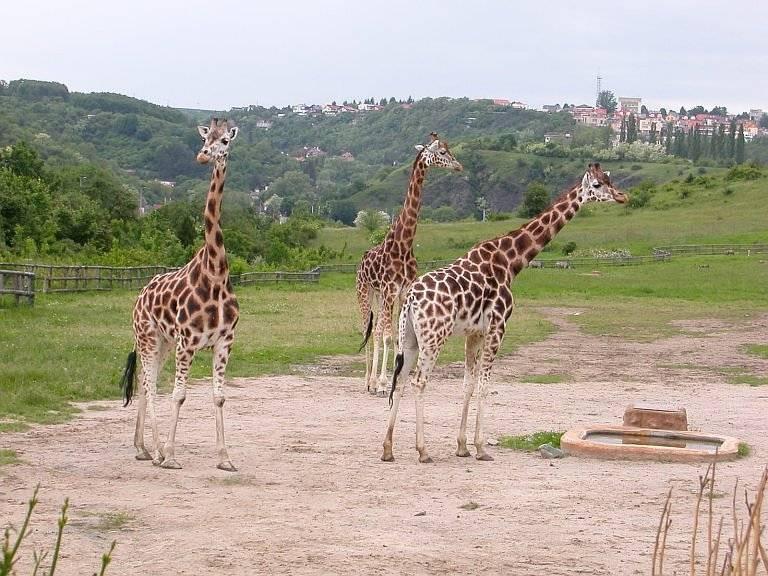 Жираф Ротшильда (угандийский)