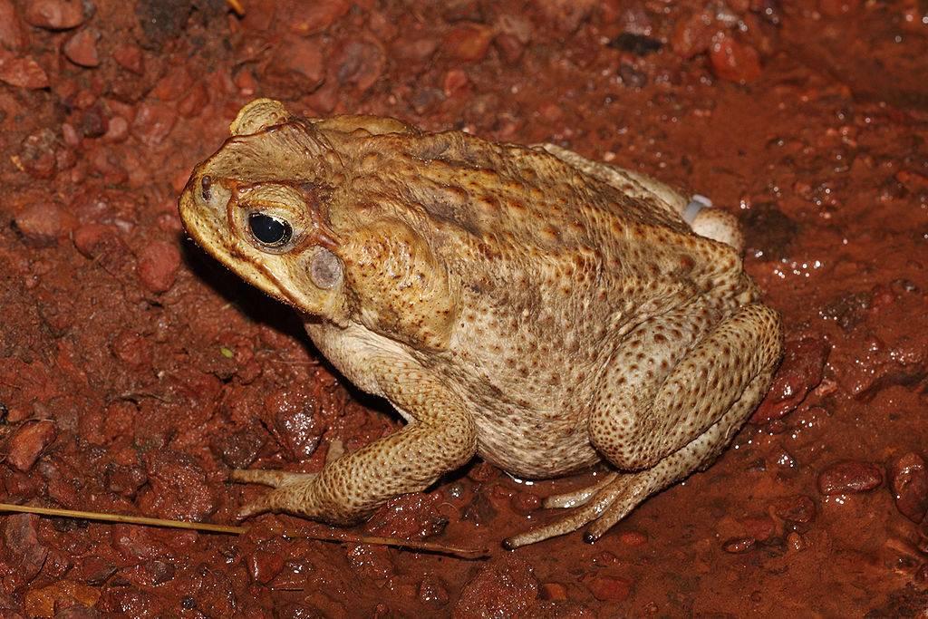 Как выглядит жаба ага