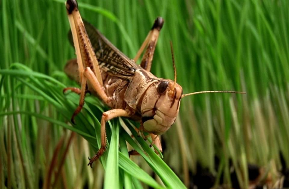 Как выглядит насекомое саранча фото