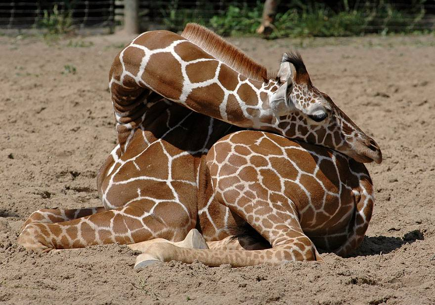 Как спят жирафы фото