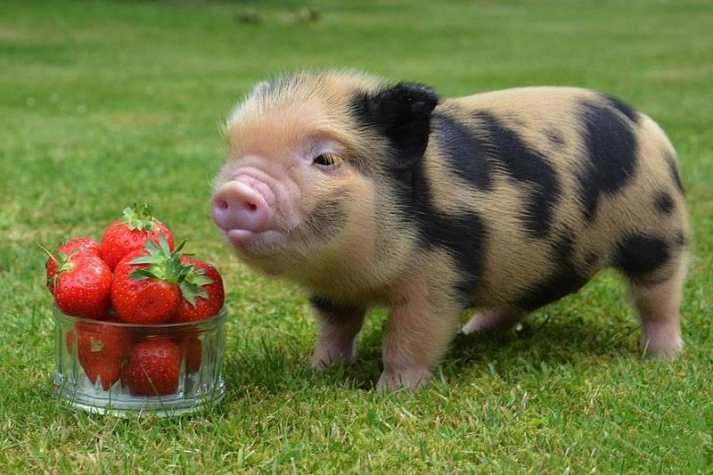 Карликовая домашняя свинья