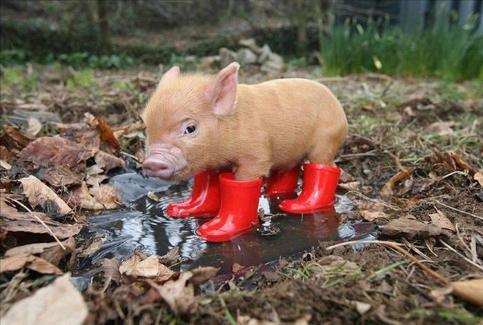 Карликовая свинья