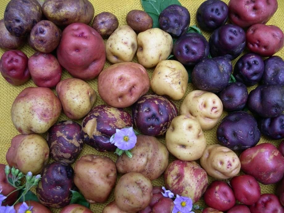Картофель красного, белого, желтого, синего, фиолетового цвета