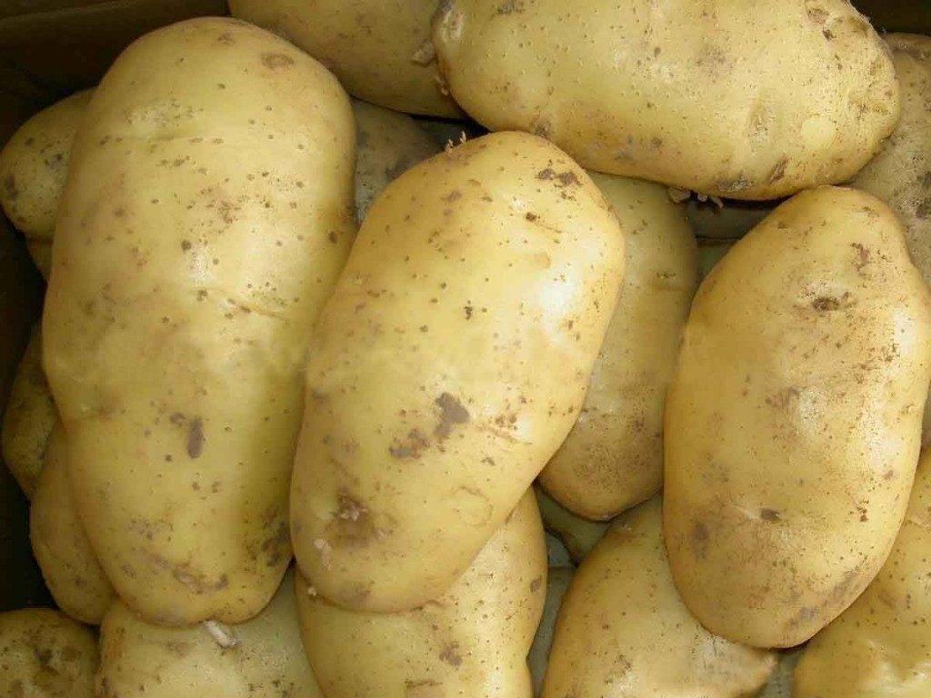 Картофель сорта Сантэ