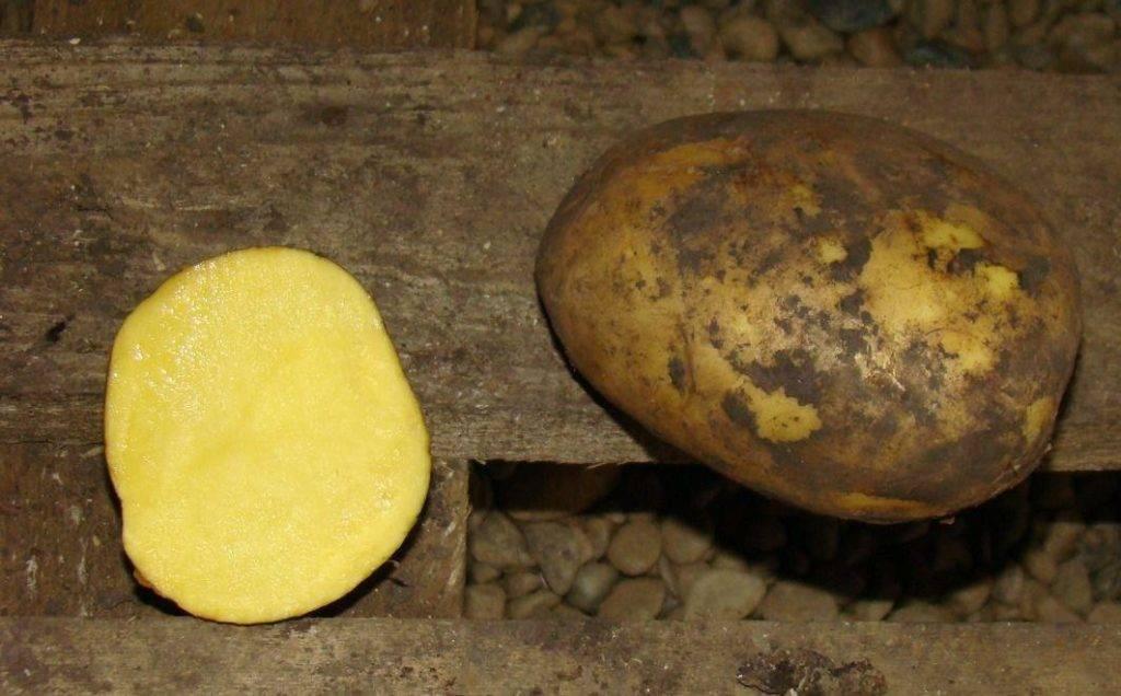 Картофель сорта фелокс фото