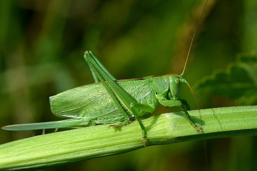 Кузнечик зеленый (Tettigonia viridissima)