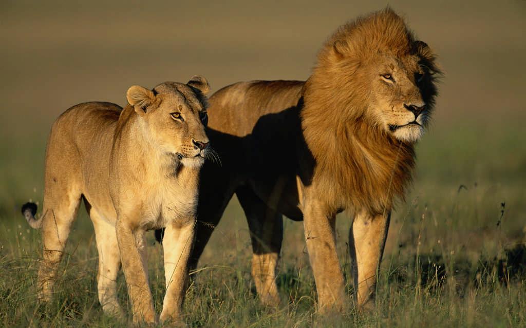 Лев и львица фото
