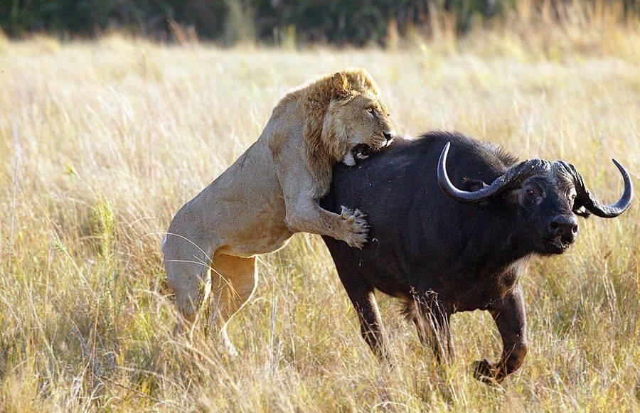Лев охотится на антилопу гну