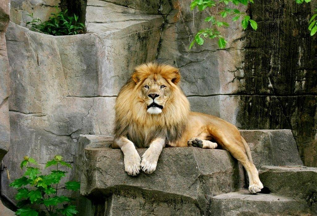 Лев фото животного