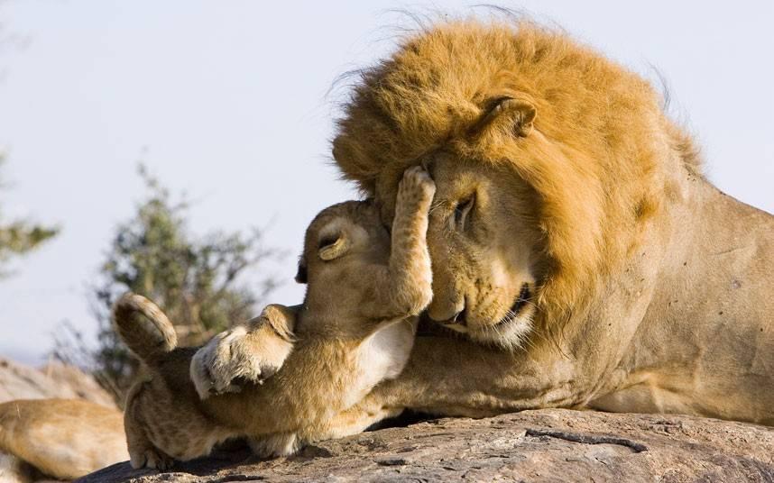 Львенок играет