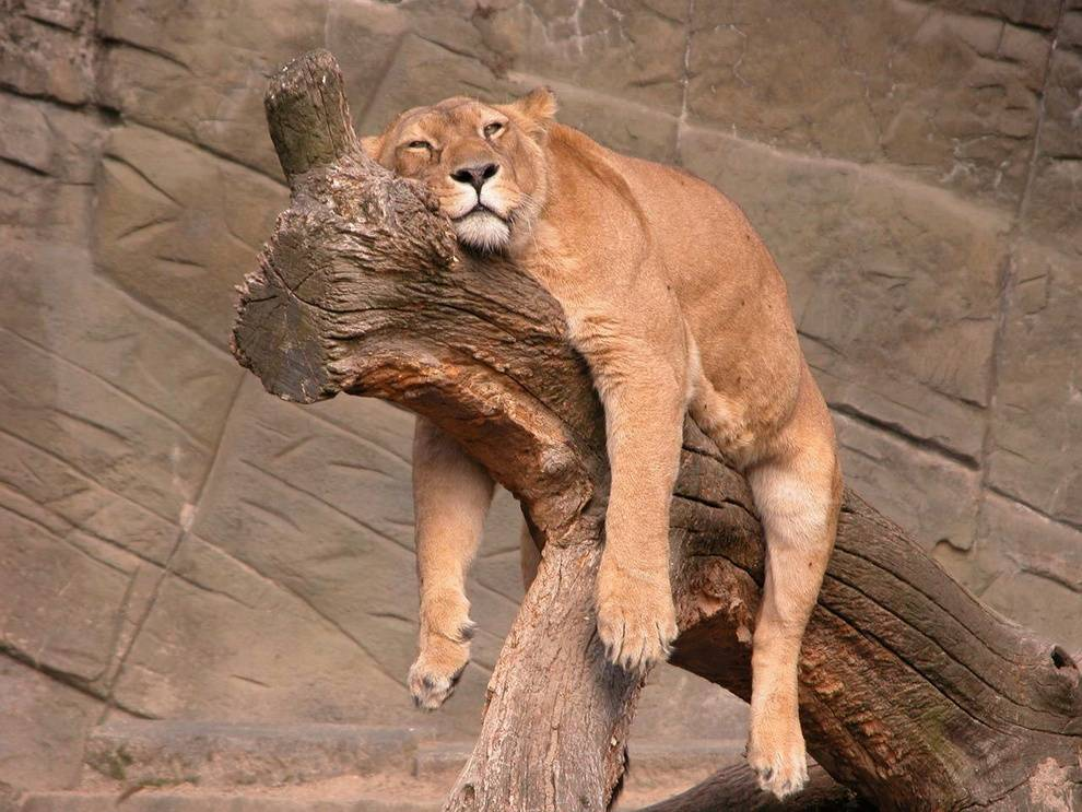 Львица в зоопарке