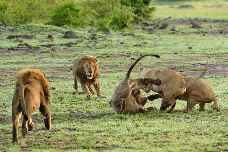 Львы дерутся фото