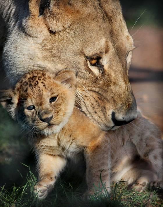 Маленький львенок фото
