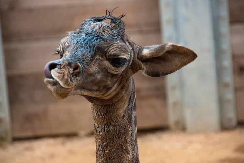 Новорожденный жираф