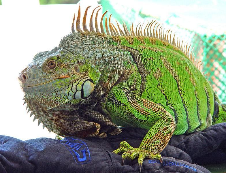 Обыкновенная (зеленая) игуана Iguana iguana