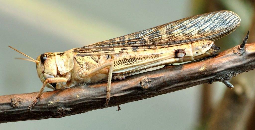 Перелетная (азиатская) саранча