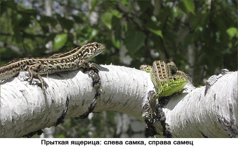 Прыткая ящерица фото (Lacerta agilis)