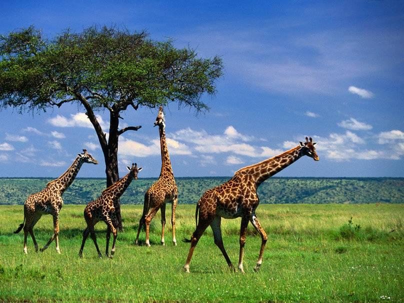Самое высокое животное в мире жираф