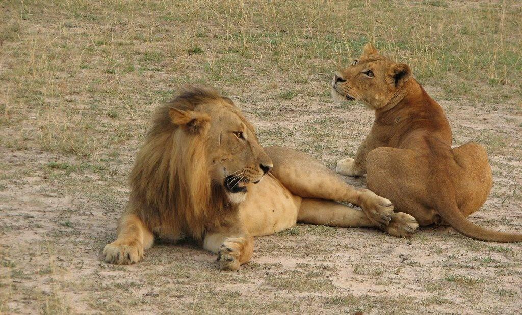 Североконголезский лев