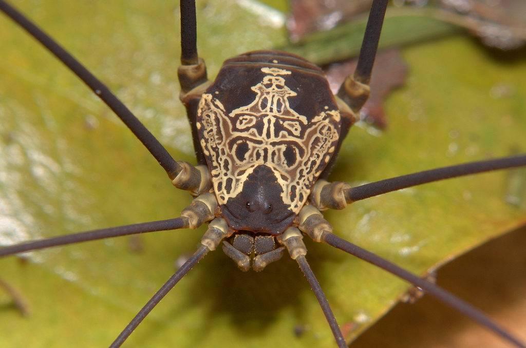 Сенокосец из семейства Cosmetidae