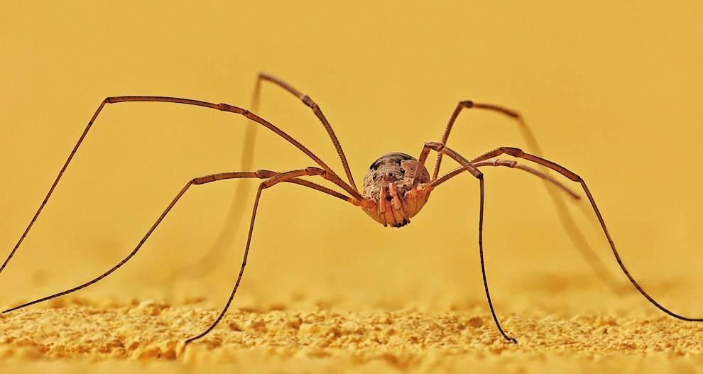 Сенокосец фото (Opiliones Phalangida)