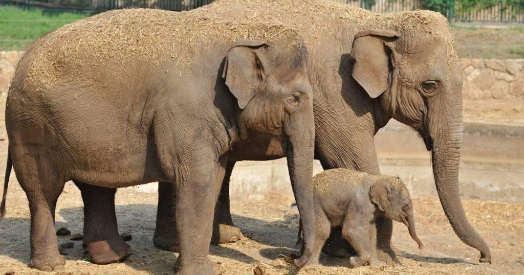 Слониха, слоненок и слон