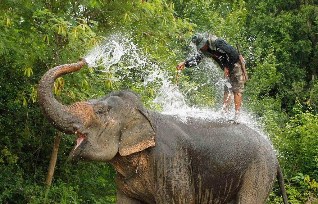 Слон поливает себя водой