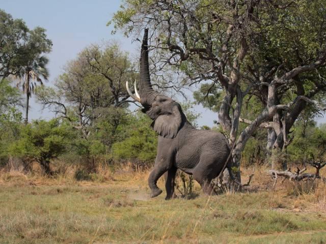 Слон с поднятым хоботом
