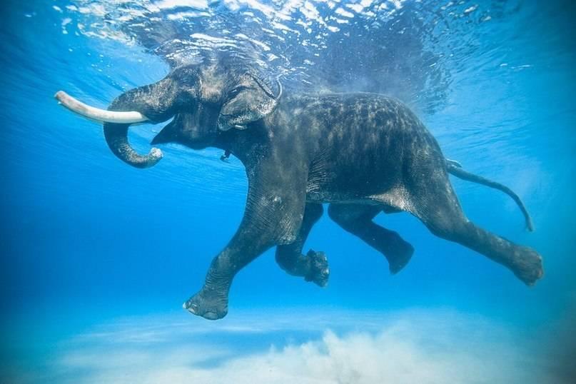 Слон умеет плавать