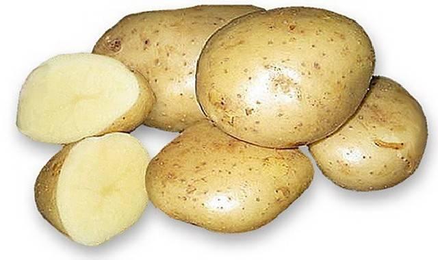 Сорт картофеля Акцент