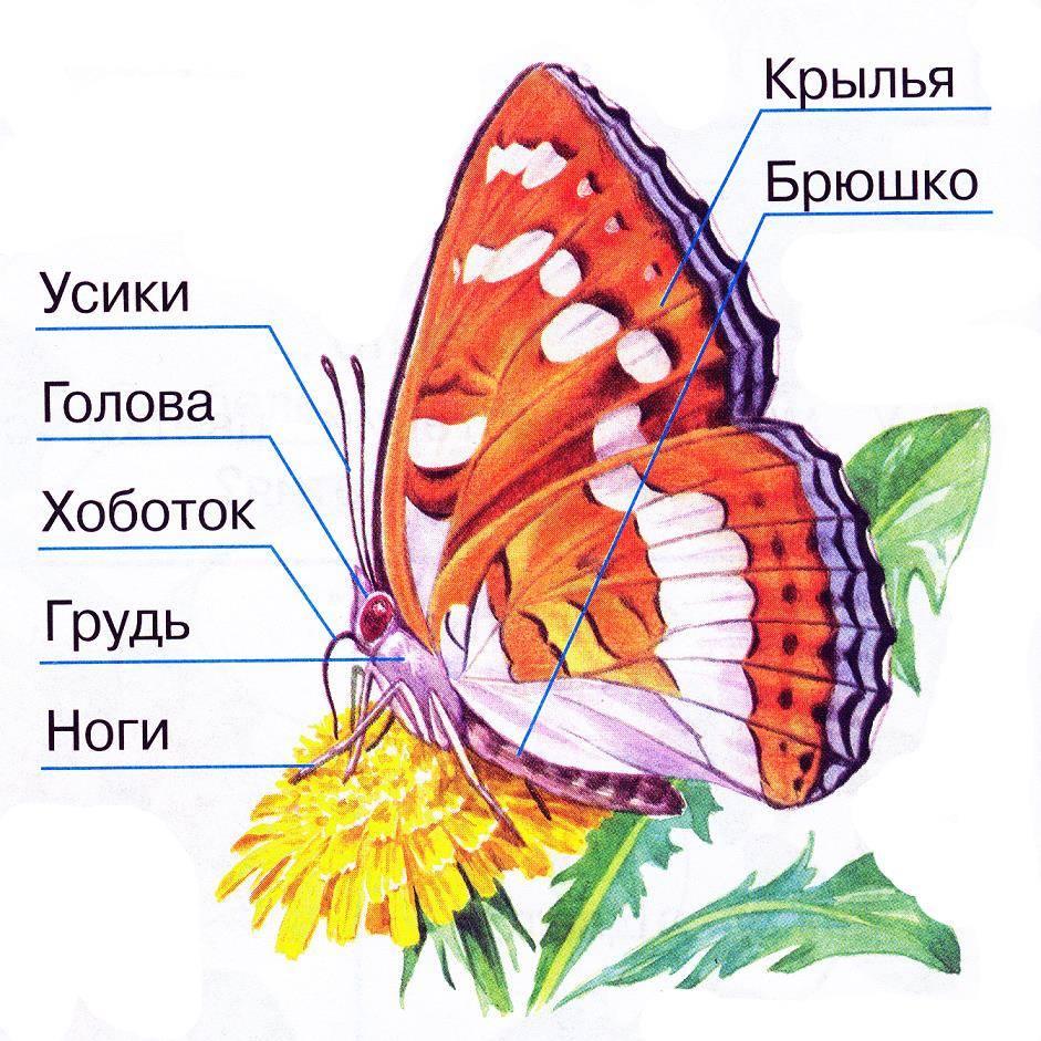 Строение бабочки фото