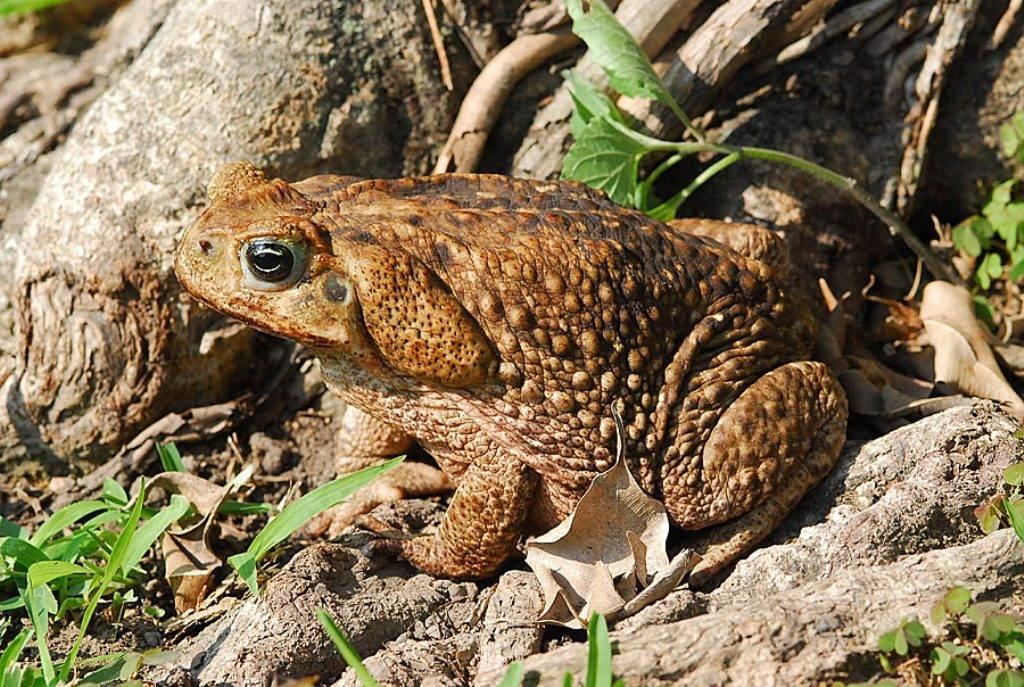 Тростниковая жаба ага фото