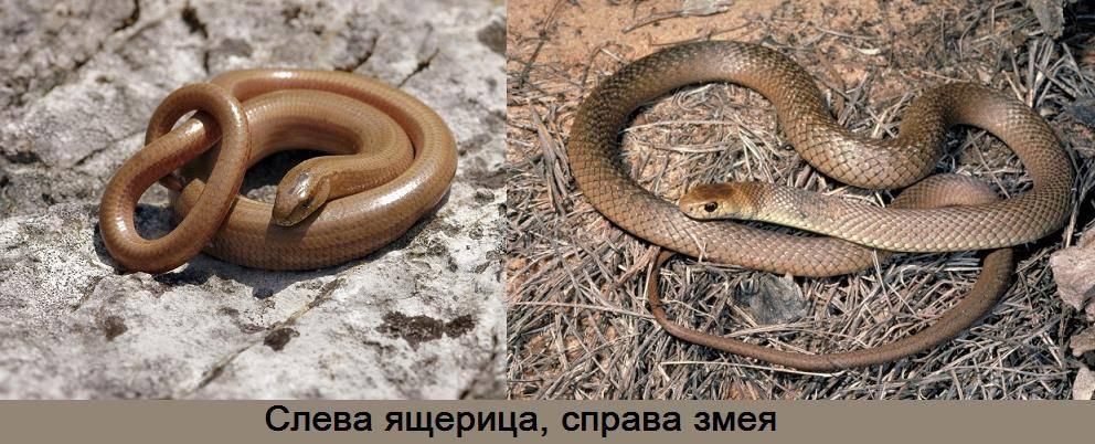 Чем змеи отличаются от ящериц