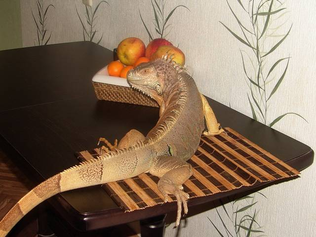 Чем кормить ящерицу в домашних условиях