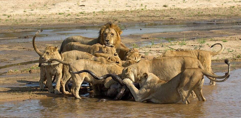 Чем питается лев в природе