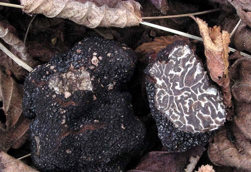 Черный зимний трюфель фото