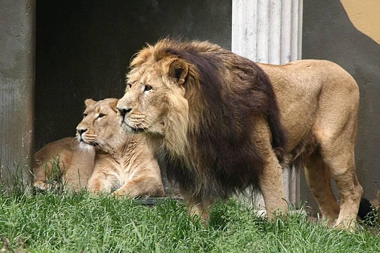 Азиатский (персидский, индийский) лев – царь зверей